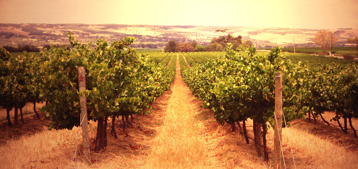 Vineyard photo from Rocha Brava